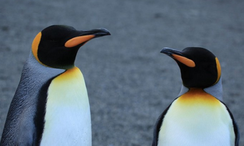 Gay Penguin Couple to Become Top Draw at Hamburg Zoo