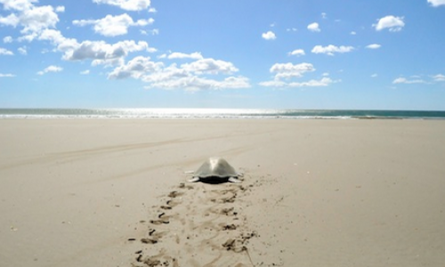 Carlos Melia experiences Green Turtles nesting at Mansanillo Beach